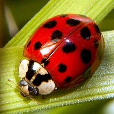 Harmonia axyridis is a large coccinellid beetle. Its colour ranges from yellow-orange to black, and the number of spots between none and 22. It is native to eastern Asia, but has been introduced to North America and Europe to control aphids and scale insects