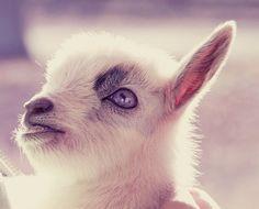 goats goats goats...what a precious face!
