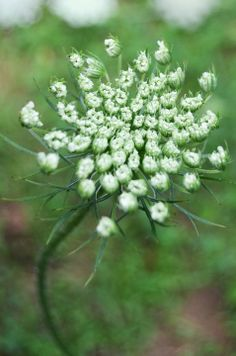 76 Best Food Queen Anne S Lace Images On Pinterest Queen Annes