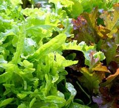 Growing lettuce is easy and offers a wealth of colors and textures, early spring greens article....