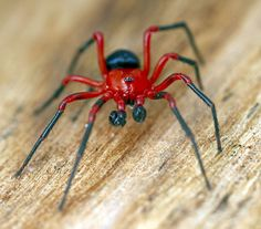 all spiders all the time (nick-porch: Red-and-Black Spiders - Kidding...)