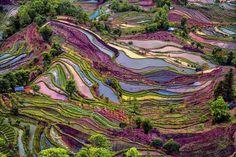 yuangyang rice terra