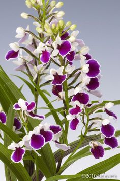 Orquídeas Ponerorchis