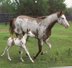 Pinto mare and foal. Like mother like daughter. They look just alike. Pretty Horses, Horse Love, Beautiful Horses, Animals Beautiful, Play Horse, Baby Horses, Wild Horses, Horse Pictures, Animal Pictures