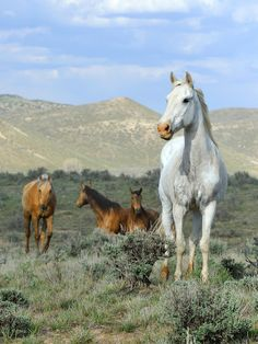Image from the Great American Horse Drive, Sombero Ranch, Craig, Colorado USA (C)Michael Huggan Photography Most Beautiful Animals, Beautiful Horses, Beautiful Creatures, Clydesdale, Animals And Pets, Cute Animals, Into The West, Majestic Horse, Wild Mustangs