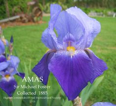 Iris 'Amas', 1885, Acc: 142177, 142178 (? no ID), 142179, 142180 (macrantha?).