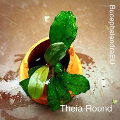 Bucephalandra Theia Round