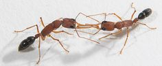 Decoding ants' coat of many odors. Ants are unique in the insect world because they have more than 400 odorant receptors compared to 60 to 80 in other insects like fruit flies and mosquitoes. Smell is key to their social behavior.