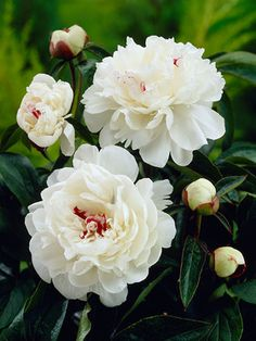 Peony Festiva Maxima- good for hot climates, plant in morning sun and afternoon shade