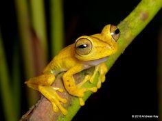 https://flic.kr/p/MMxKzE | Troschel's tree frog, Hypsiboas calcaratus? | from Fundación Fauna de la Amazonía, Ecuador: www.amazoniarescue.org