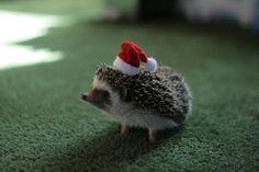 Joy is a hedgehog in a mini Santa hat