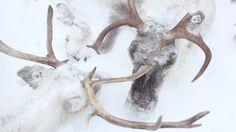 Snow covered reindeer in Yamal Peninsula