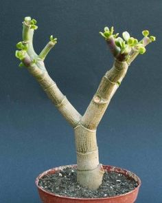 Succulent Gardening, Planting Succulents, Gardening Tips, Bonsai Making, Bonsai Pruning, Succulent Display, Crassula Ovata, Garden Architecture, Houseplants