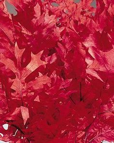 Preserved Red Oak Leaves  Purchase by the pound, or save even more with a case!    Brilliant and captivating, these preserved red oak leaves are gorgeous. They add a bright spot in any floral or fall and winter display. The beautiful red color of these natural, preserved oak leaves lends itself to being a spot of cheerful color for any display. The bright red oak leaf makes a stunning addition to fall decorating, and blends nicely into winter and holiday displays.    Pictured: A typical…