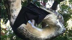 Le python géant dévorant un renard volant des Philippines