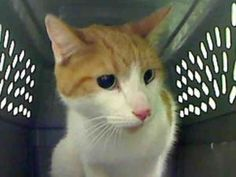 TWINKIE is an adoptable Domestic Short Hair Cat in Gardena, CA.  ...