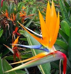 """Orange Bird of Paradise 6"""" Pot - Strelitzia - Elegant! by Hirts: Tropical. $13.99. The plant you will receive is growing in a 6"""" pot.. Height: 24-36"""". Bright orange plumes with midnight blue beaks. Frost tender perennial in mild areas. Exotic and memorable flowers. Exotic and memorable flowers. Bright orange plumes with midnight blue beaks and a carefully guarded reserve of flowers within the bud. Each stem has four flowers so carefully split the green beak to release them. Fros..."""