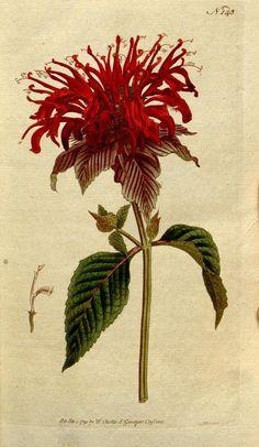 Monarda fistulosa. The Botanical magazine, or, Flower-garden displayed v.5-6 (1792-1793).  [S.l. :s.n.],1790-1800.  Biodiversitylibrary. Biodivlibrary. BHL. Biodiversity Heritage Library