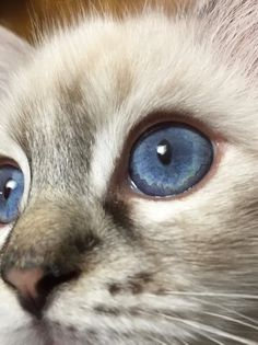 Welcome to Genotype Cats - Ragdoll Cats Ragdoll Cats, Kittens, Colored Pencils, Shop, Animals, Cute Kittens, Colouring Pencils, Animaux, Crayons