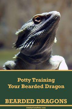 Learn how to potty train bearded dragons using 2 . - Learn how to potty train bearded dragons using 2 different methods. Terrariums, Terrarium Reptile, Les Reptiles, Reptiles And Amphibians, Bearded Dragon Cute, Leo, Dragons, Paludarium, Vivarium