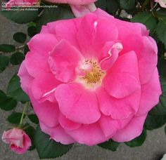 View picture of Shrub Rose 'Carefree Wonder' (Rosa) at Dave's Garden.  All pictures are contributed by our community.