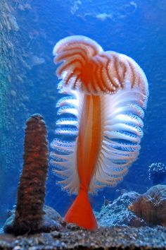 orange sea pen is probably one of the most colorful sea creatures of all time. Made up of several sea polyps forming a colony, the orange sea pen is amazingly beautiful. Under The Water, Life Under The Sea, Under The Ocean, Sea And Ocean, Underwater Creatures, Underwater Life, Ocean Creatures, Imagen Natural, Beautiful Sea Creatures