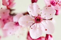 cherry blossom - Google Search