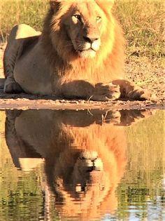 Join Little Vumbura guide Lettie for a jaw-dropping morning on the Kwedi Concession... #OkavangoDelta #safari