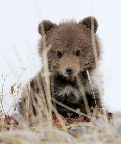 Brown Bear baby