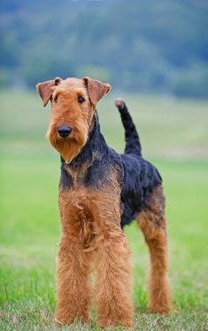 Airedale Terrier Dog Breed Information, Popular Pictures - Airedale Terrier Terrier Airedale, Terrier Dog Breeds, Irish Terrier, Terriers, Wirehaired Fox Terrier, Lakeland Terrier, Dog Photos, Dog Pictures, Pillos