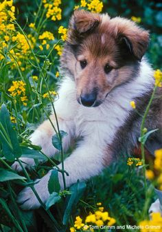 Adorable Collie pup- would make a great family pet!