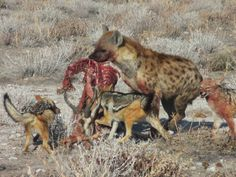 Hyena and Black-back jackals in stand-off