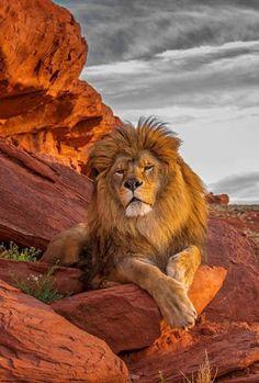 Felino cujo nome científico é panthera leo. Os leões são encontrados em três continentes: África, Europa e Ásia. Porém, a grande concentração atual de leões ocorre nas savanas africanas. A cor deste animail varia entre a amarela claro e o marrom. Os machos se diferenciam das fêmeas pelo tamanho, peso e presença da grande juba. Os leões são carnívoros e caçadores (principalmente as fêmeas). Os leões se alimentam de antílopes, gnu, búfalos, zebras, javalis e outros mamíferos.