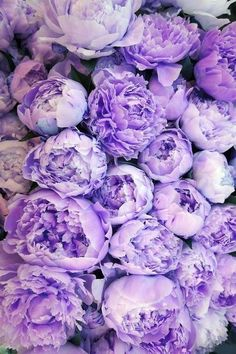 Purple peonies