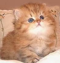 Znalezione obrazy dla zapytania persian cat