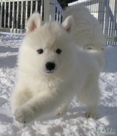 Man's best friend: The Samoyed Baby Dogs, Pet Dogs, Dog Cat, Doggies, Beautiful Dogs, Animals Beautiful, Cute Baby Animals, Animals And Pets, Cute Puppies