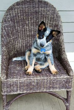 I can see what hes thinking right now.... puppy:i stole ur spot mwahahaha! Blue Dog, Blue Heelers, Cattle Dogs, Crazy Dog, I Love Dogs, All Dogs, Cute Puppies, Dogs And Puppies, Doggies