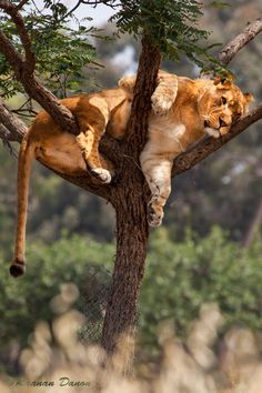 """""""Lioness on the Tree"""" by Raanan Danon"""