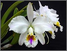 Cattleya mossiae néven is ismert Flor de Mayo,                                                                                                                                                                                 Más