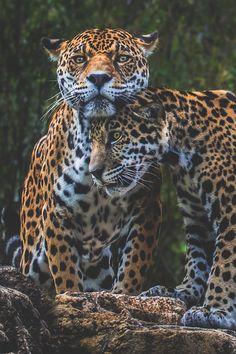 Jaguar Love: by Pat Stotler (Big Cats) http://dunway.us