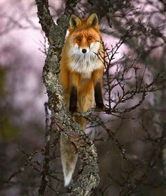 Fox in a tree by Kjartan Trana. As an animal totem, the Fox can encourage mentality acuity, analytical skills and alertness. The Fox Spirit may remind you to be discerning and look out for deception. Nature Animals, Animals And Pets, Cute Animals, Wild Animals, Beautiful Creatures, Animals Beautiful, Animal Photography, Nature Photography, Fuchs Baby