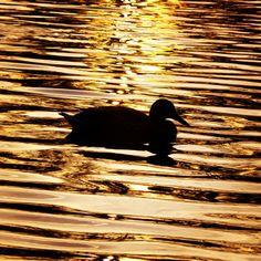 #zlota #kaczka ⭐ The #golden #duck ⭐ #zachod #slonca w Parku Południowym ⭐ #sunset at #parkpoludniowy #pool #staw #bird #nature #natura #przyroda #wroclove #wroclaw  #igerswroclaw #igerspoland #kaczkogram