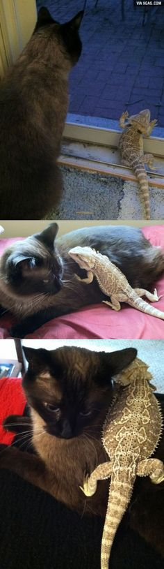 So apparently my cousin has a kitty and a bearded dragon and they're best friends