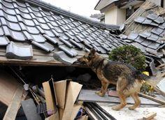 "Search and rescue dog, a big earthquake ""Tohoku Kanto Daishinsai"" in Japan, last year."