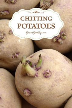 Chitting potatoes is also called greensprouting, or pre-sprouting. Chitting it is a way of preparing potatoes for planting by encouraging them to sprout before planting in the ground. This gives the tubers a head start and encourages faster growth and heavier crops once the seed potatoes are planted.: