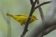Paruline jaune (mâle)