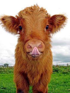 a.baa-Cute-Cow.jpg 560×747 bildpunkter