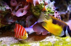 *peppermint angelfish - rare