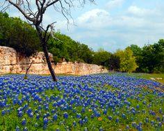 Texas Bluebonnet Season - 2010