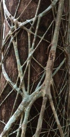 Strangler Fig | Noosa National Park.